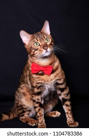 Bengal cat with a red bow tie sits on a black background