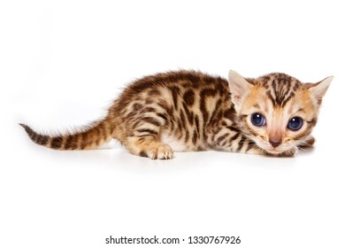 Bengal Cat Red Kitten (isolated on white)