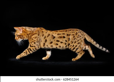 Bengal cat runs on a black background
