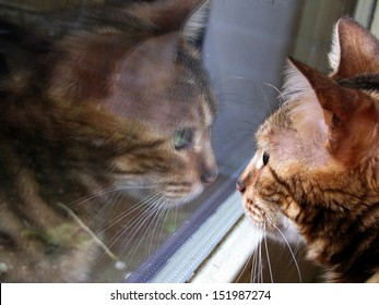 Bengal cat: side view, front view mirror window reflection