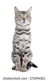 bengal cat silver in front of white background