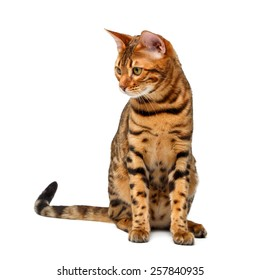 bengal cat sitting and looking down on white background