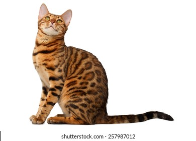 bengal cat sitting and looking up on white background