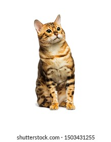Bengal cat sitting on an isolated white background