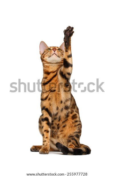 bengal cat  sitting and raising up paw on white background
