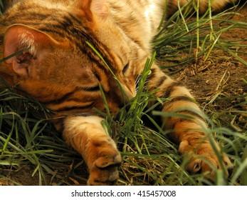 Bengal cat sleeping in the sun in the yard