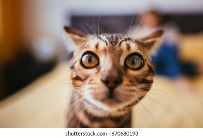 Bengal cat smells a camera standing on the bed