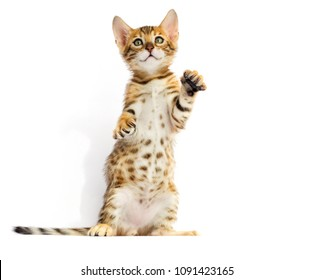 Bengal cat standing on its hind legs on a white background