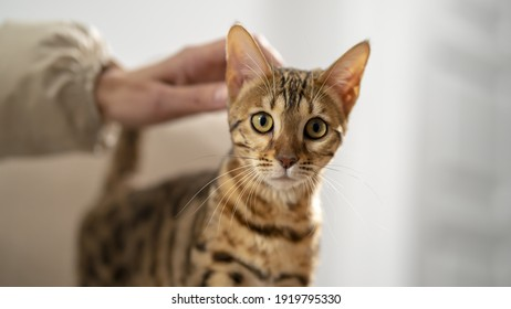 Bengal cat is stroking by a female hand, selective focus, close-up. Concept: Pets calm their owners.