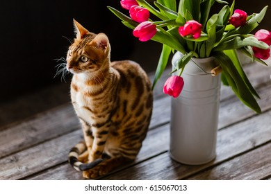 bengal cat with tulips flowers.