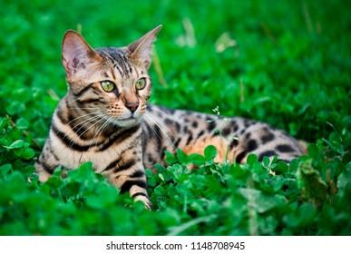Bengal cat walking in garden