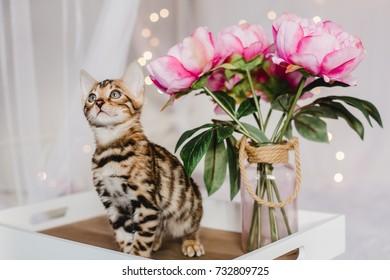 bengal cats babys leopard kitten