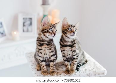 bengal cats leopard kitten