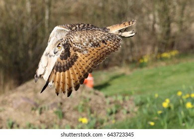 Bengal Eagle Owl, also known as Indian Eagle Owl, in flight