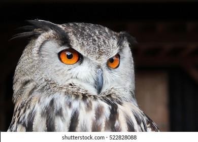 Bengal eagle owl with orange eyes on Brown black background.