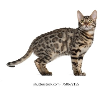 Bengal kitten, 4 months old, standing in front of white background