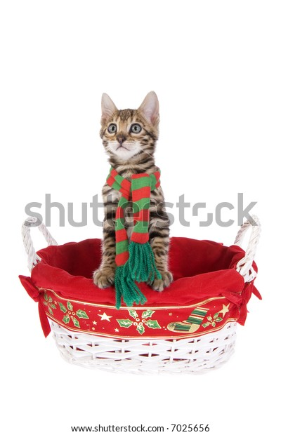 Bengal kitten in basket isolated on white background