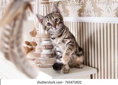 Bengal Kitten Cat