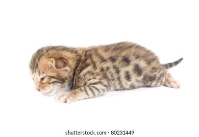 Bengal kitten isolated on white background