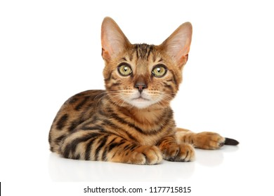 Bengal kitten lying in front of white background