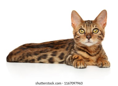 Bengal kitten lying and looking forward on white background. Baby animal theme