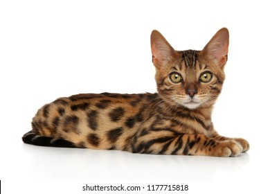 Bengal kitten lying on white background
