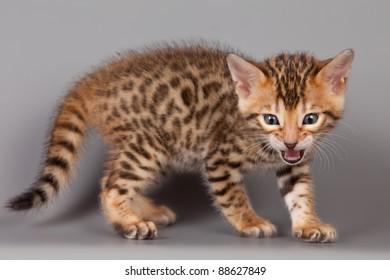 Bengal kitten on grey background