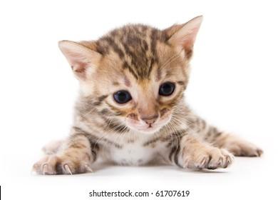 Bengal kitten on white background