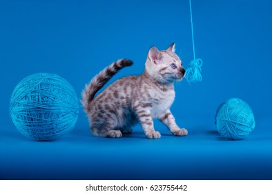 Bengal kitten plays on a blue background