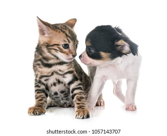 bengal kitten and puppy chihuahua in front of white background