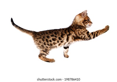 Bengal kitten reaching out paw isolated on background