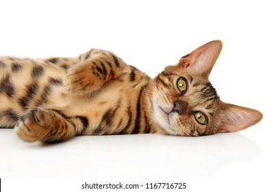 Bengal kitten relaxing in front of white background