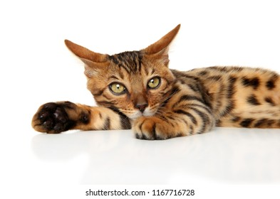 Bengal kitten resting in front of white background. Baby animal theme