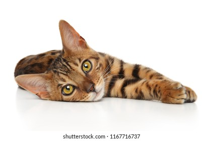 Bengal kitten resting on white background. Baby animal theme