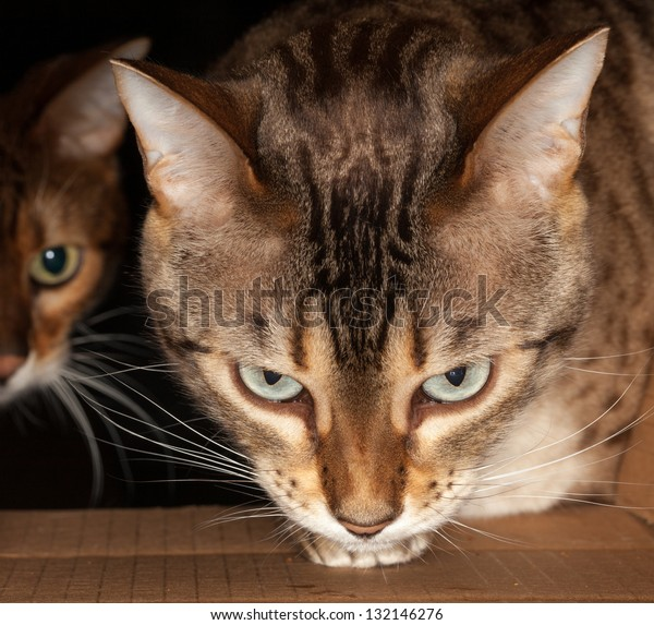 Bengal kitten seeking food and pushing its head through a cardboard box with second cat behind