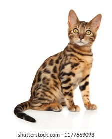 Bengal kitten sits on white background