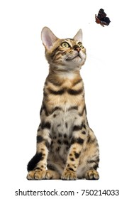 Bengal kitten sitting and looking at a butterfly flying