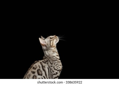 Bengal Kitty Sits and Looking Up on Black Background