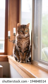 Bengal Mix Cat Relaxing on by Large Window