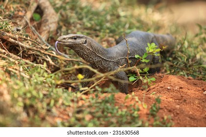 Bengal Monitor Lizard in the rainforest. Varanus bengalensis in Sri Lanka