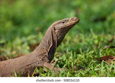 The Bengal monitor (Varanus bengalensis) or common Indian monitor,portrait with green background