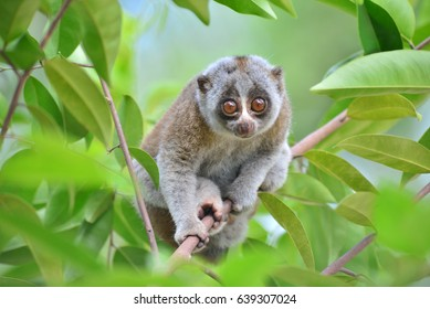 Bengal Slow Loris