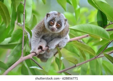 Bengal Slow Loris in tropical jungle
