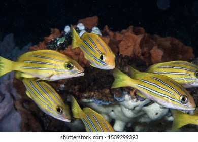 Bengal Snapper fish (Lutjanus bengalensis) bright yellow fish with four blue lines on the side of his body.