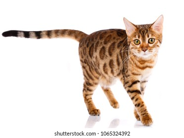 Bengal thoroughbred cat on a white background. Purebred cat. Well-groomed kitten. Pet, comfort and calm concept.