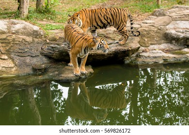 Bengal Tiger beg for no attention...He walks with his great confident... Anyone dares to confront him, think twice!!