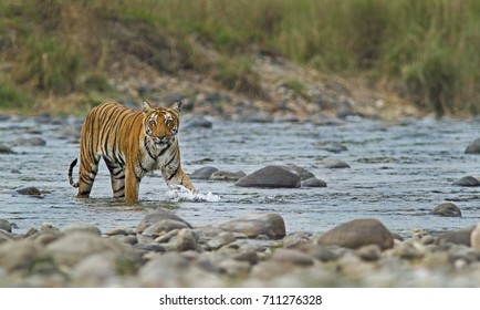 Bengal Tiger Crossing a river in Corbett National Park
