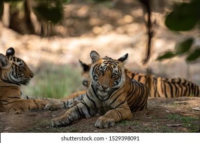 bengal tiger cub headshot or head shot at Ranthambore National Park - panthera tigris