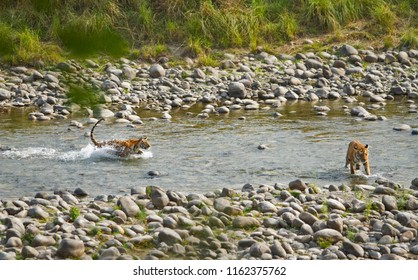 A Bengal Tiger Cub and mother in water