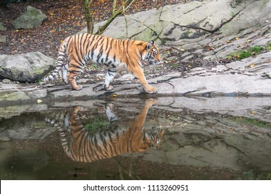 Bengal tiger drinking water near forest stream in its natural habitat at Sundarbans forest. subspecies in Asia is listed as Endangered on the IUCN Red List. Biggest wild cat